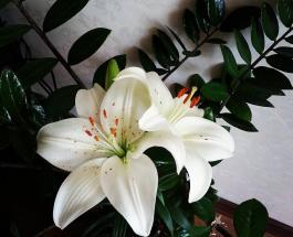 Замия – растение, приносящее счастье и деньги: как правильно за ним ухаживать