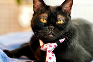 Черный кот с белыми