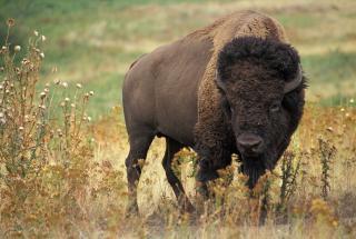 Огромный бизон напал на 72-летнюю женщину в Йеллоустонском национальном парке: видео