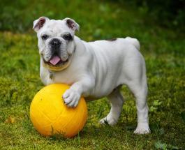 """Необычная фотография """"мускулистой"""" собаки породила множество смешных мемов в сети"""