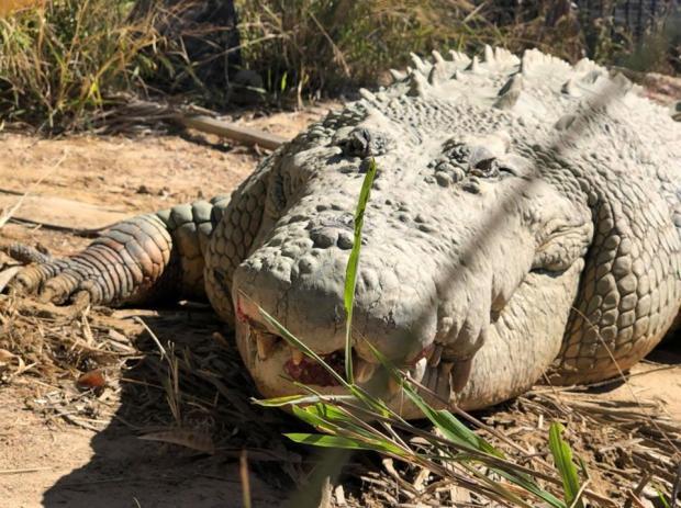 крокодил Бука