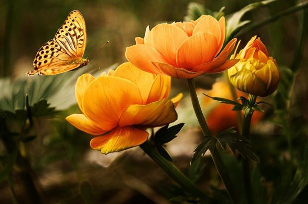 оранжевая бабочка на цветке
