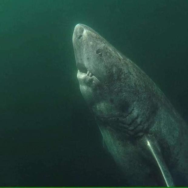 акула-рекордсмен