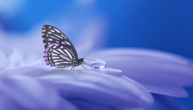 бабочка пьет росу с лепестка