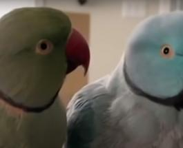 """""""Разговор"""" двух попугаев записанный на видео покорил пользователей сети"""
