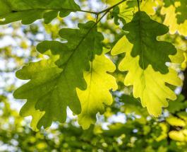 Один из самых старых дубов обнаружен в Италии: возраст дерева насчитывает около 1000 лет