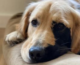 Золотистый ретривер с необычным окрасом стал звездой Сети: милые фото пса по имени Энцо