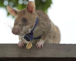 Крыса по имени Магава получила золотую медаль за храбрость: фото маленького героя