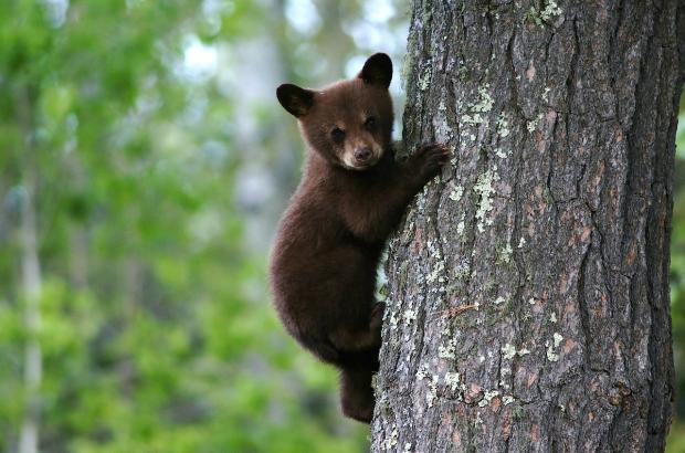 маленький медвежонок на дереве