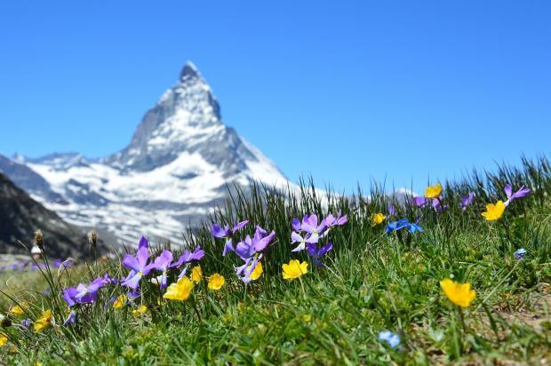 полевые цветы, заснеженная вершина горы вдалеке
