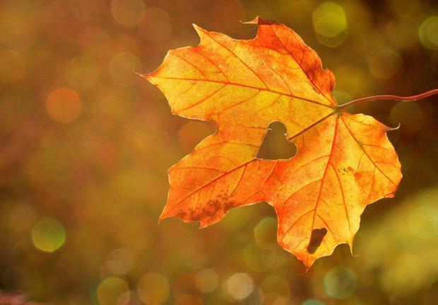 осенний кленовый лист с вырезанным сердцем