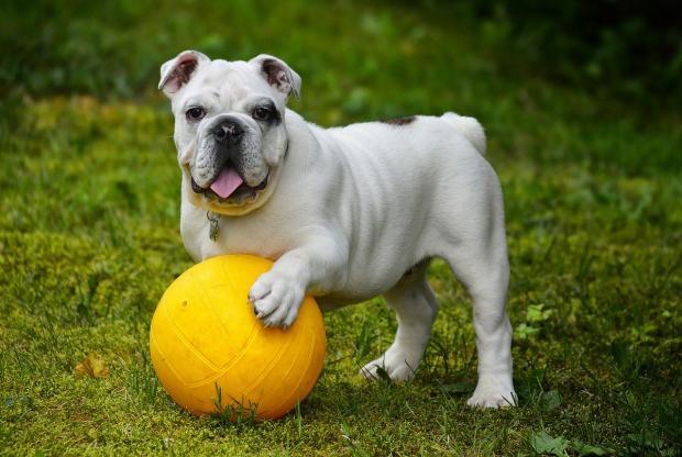 бульдог гуляет на улице с желтым мячом