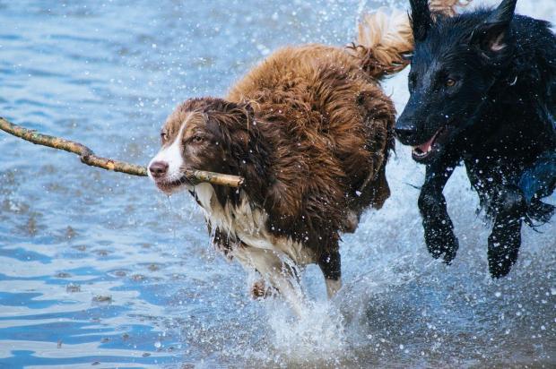 две собаки бегут по воде