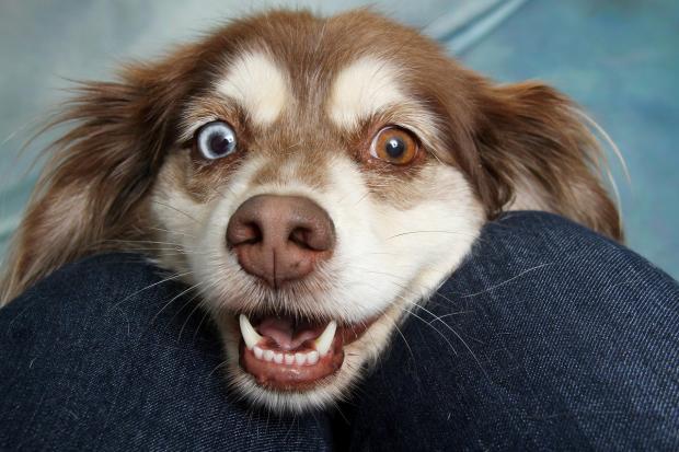 морда собаки с разноцветными глазами