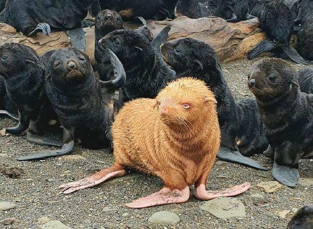Морской котик-альбинос