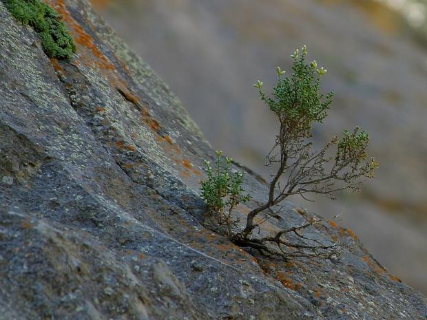 росток, пробившийся сквозь камень