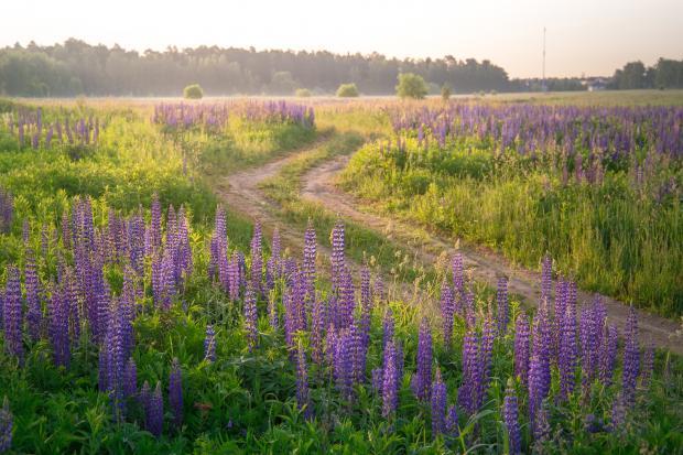 проселочная дорога среди полевых цветов