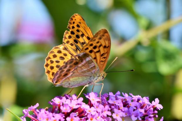 бабочка на сиреневом цветке