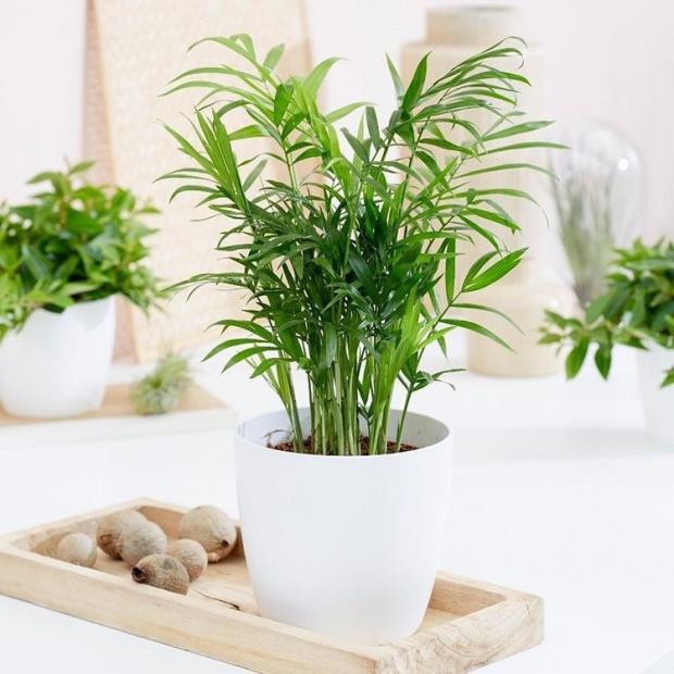 Бамбуковая пальма в горшке