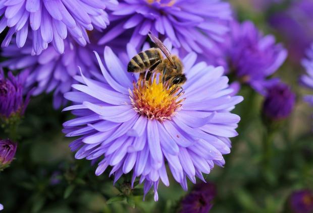 пчела на пурпурном цветке