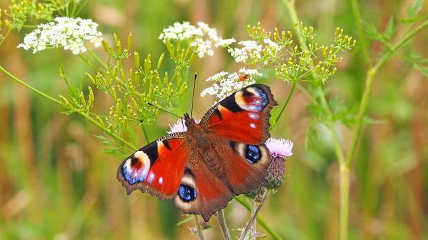 бабочка сидит на белом цветке
