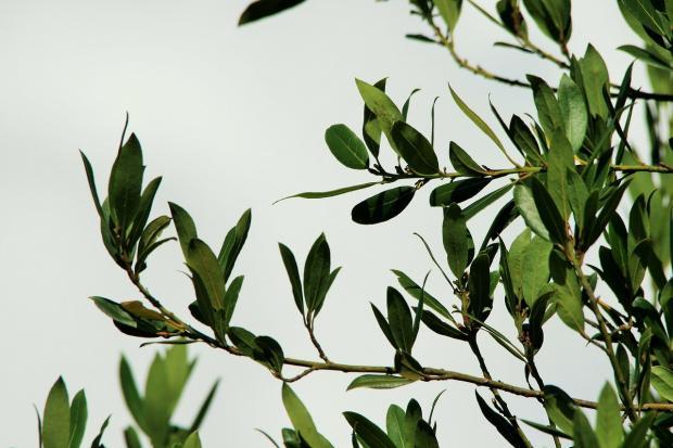 ветвь лаврового дерева