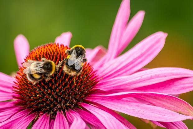 две пчелы сидят на розовом цветке
