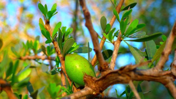 зеленая аргана растет на дереве