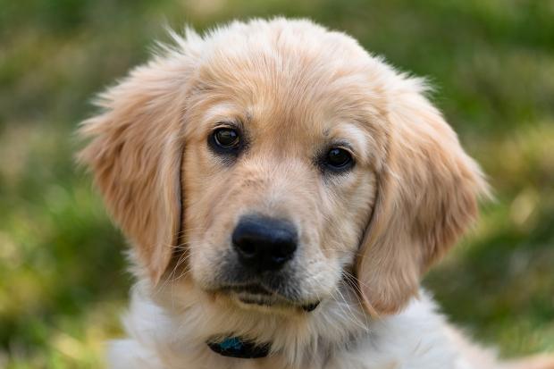 щенок золотистого ретривера смотрит перед собой