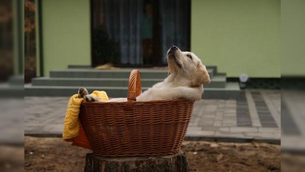 щенок лабрадора лежит в корзине у порога дома