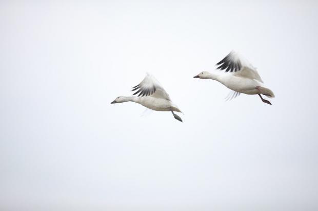гуси летят