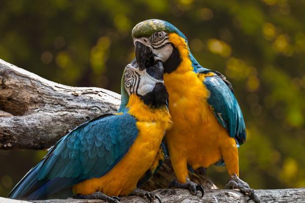 два попугая желто синей окраски