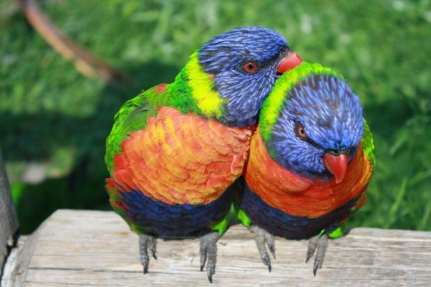 два ярких разноцветных попугая сидят рядом на дереве