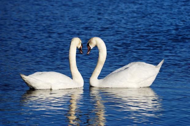 два белых лебедя плывут по синей воде