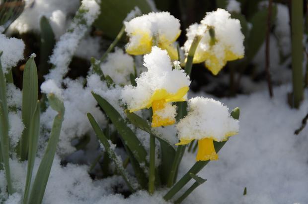 желтые нарциссы стоят под снегом