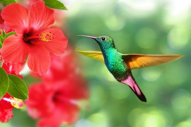 колибри летит на распущенный цветок красного цвета