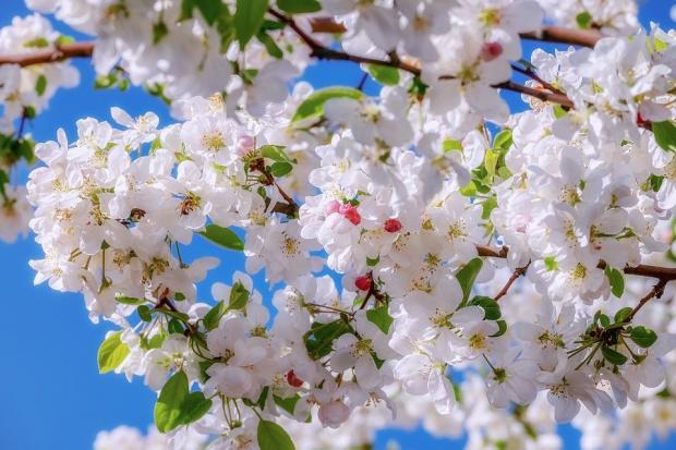 ветви цветущей яблони