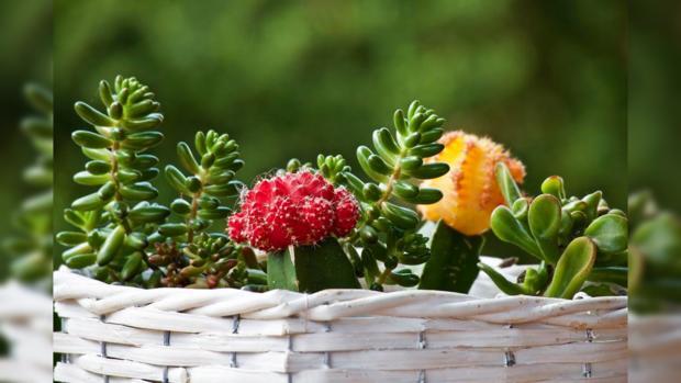 цветущие суккуленты в красивой корзине