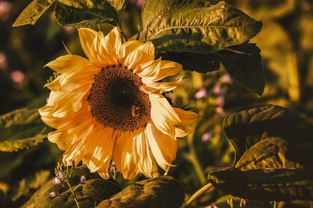 ярко желтый созревший подсолнух