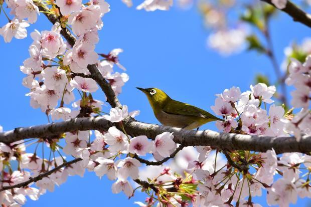 желтая птица на цветущей белыми цветами ветви дерева
