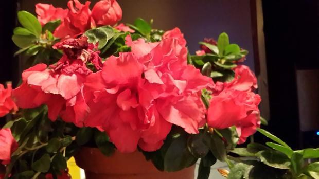 красивый комнатный цветок с крупными бутонами красного цвета
