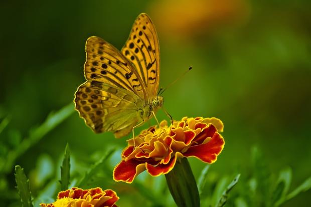 бабочка сидит на цветке