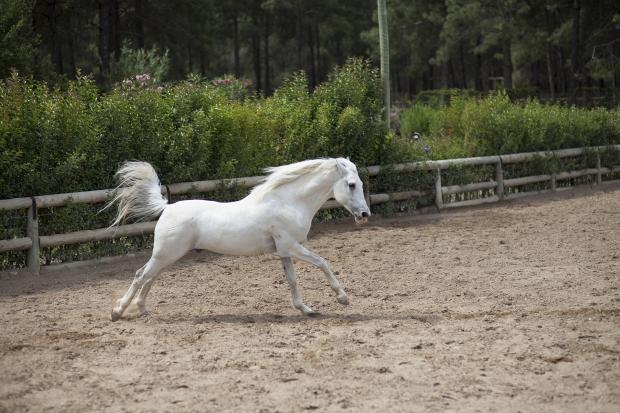 белая лошадь бегает в загоне