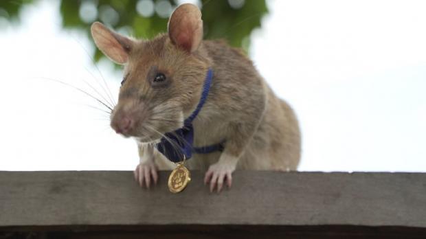 крыса Магава с медалью