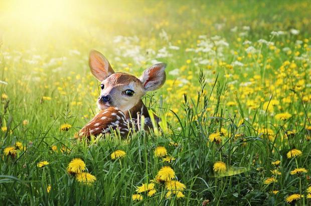 пятнистый олененок лежит на лугу с зеленой травой и желтыми цветами