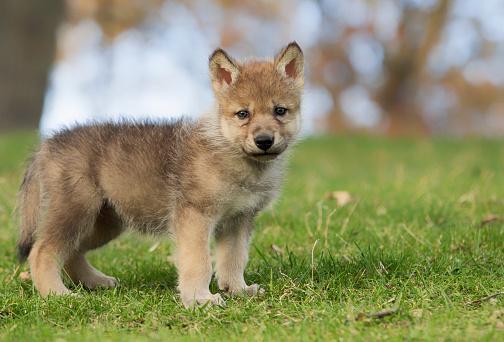волчонок стоит на четырех лапах с опущенным хвостом