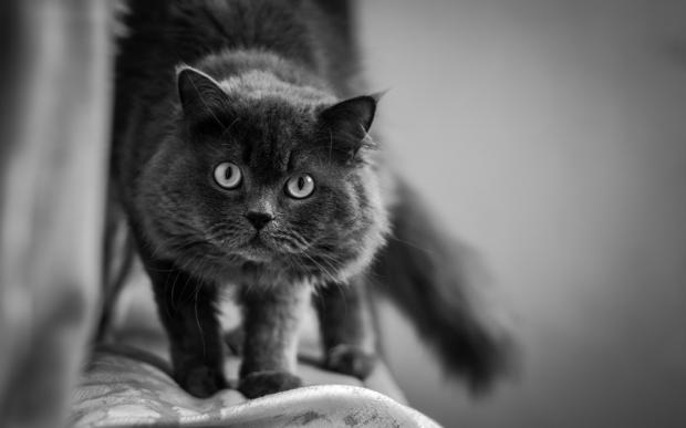 кошка пепельного оттенка стоит на спинке дивана