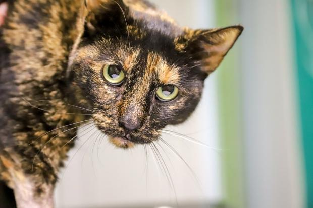 пристальный взгляд черно-пестрой кошки