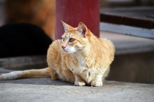 сидящая рыжая кошка смотрит в сторону