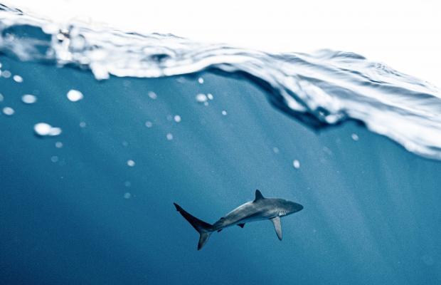 Акула в воде